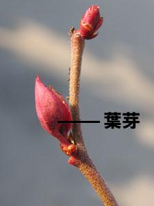 ブルーベリーの葉芽