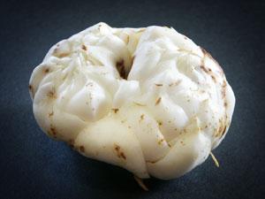 肉厚な鱗片が重なったユリ根は、ユリ科植物の鱗茎