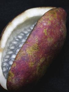 果実が熟すと、縫合線から縦に裂けるアケビ
