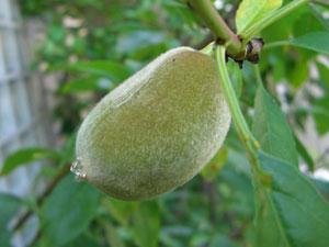 アーモンドの果実は石果
