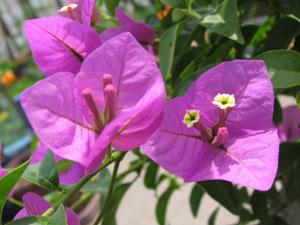 ブーゲンビリアの花びらに見えるのは包で、中央に三本出ているのが実際の花