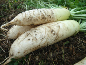 大根などの根菜類には、多肉根が多い