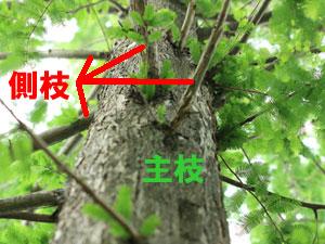 メタセコイアの主枝と側枝