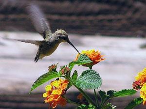 花の蜜を吸うハチドリによる鳥媒受粉