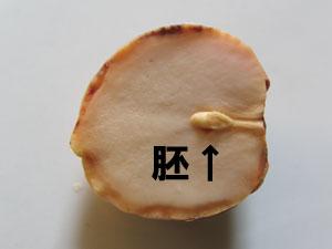 アボカド種子の胚