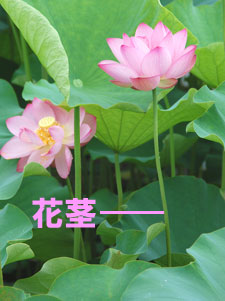 ハスの花茎(かけい)