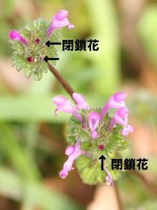 ホトケノザの閉鎖花