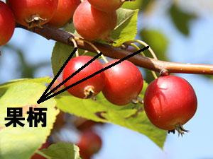姫りんごの果柄(かへい)