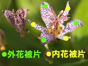 ホトトギスの花被片のうち、外側の幅広3枚は外花被片、内側の幅狭3枚は内花被片である