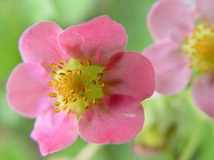 イチゴの花は両性花
