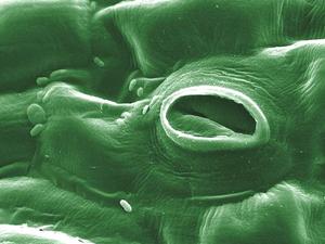 電子顕微鏡により撮影された、トマトの葉の気孔