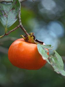 柿の果実は、子房が発達してできた真果