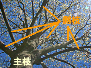 モクレンの主枝と側枝