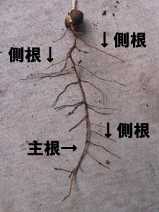 1本の主根から、多数の側根が出る