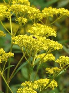 オミナエシの複合花序