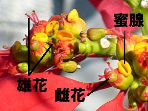ポインセチアの杯状花序