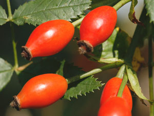 バラ状果のローズヒップは、豊富なビタミンCを含み、食用や薬用など様々な用途に利用されている