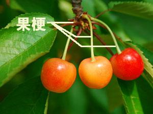 サクランボの果梗(かこう)