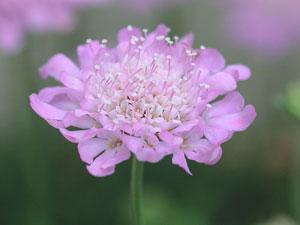 スカビオサ(西洋マツムシソウ)の頭状花序