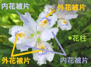 シャガの花被(かひ)