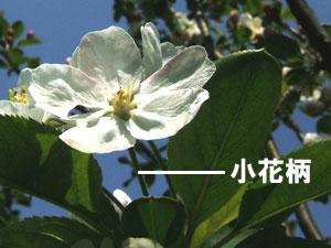 姫りんごの小花柄(しょうかへい)