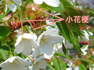 サクランボの小花梗(しょうかこう)