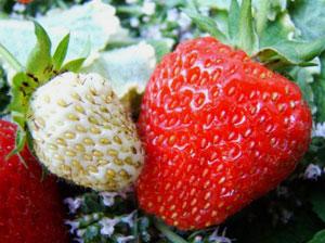 イチゴの果肉は花床が肥大したもので、実際の果実は表面にある複数の種である