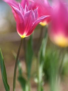 チューリップの単頂花序