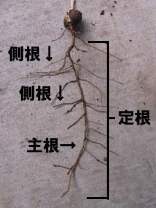 月桂樹の定根