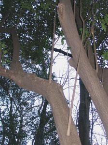 枝の途中から上に伸びる徒長枝