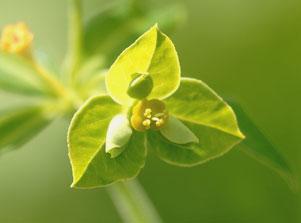 トウダイグサの壷状花序