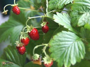 ワイルドストロベリーの果実は、花床が肥大して果実状になったイチゴ状果