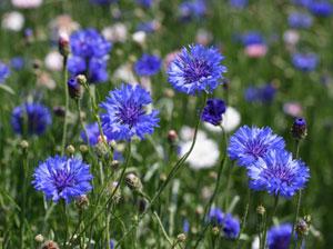 ヤグルマギクの青い色素は、アントシアニンである
