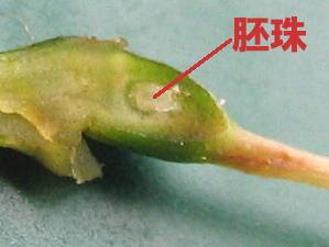 サクランボの胚珠